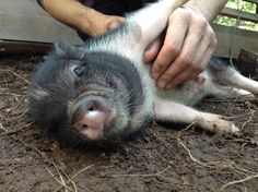 8 Things You've Never Known That Pigs LOVE To Do