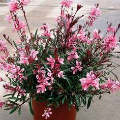 "Gaura 'Passionate Blush' | Wand Flower. I call guara ""natures whirligig."" a delicate native to boot!"