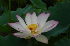 N. 'Yixian Lian' lotus is a single flower white lotus which has a plate like form. It is almost the biggest lotus, on sale http://bergenwatergardens.com/chinese-lotus-tubers-for-sale