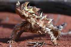 Thorny devil outback pic