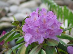 Rhododendron Love it!!