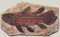 The coelacanth was believed to be extinct until 1938 - one was found in the catch of a fishing trawler by a museum curator. This makes it a Lazarus taxon, a species that has 'risen from the dead,' thought to be extinct only to be discovered alive. The oldest fossil is 360 million years old, and it seems the fish has hardly changed since then. Many thought they went extinct 80 million years.