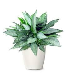 1000 Images About Indoor Ornamental Plants Grown In