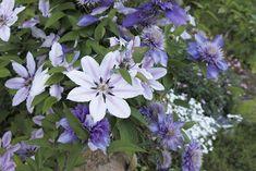 Clematis-Sorten: Blütenpracht von Frühling bis Herbst