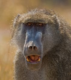 <br />Giving me a fantastic threat pose. Baboon, Primates, Troops, Old World, Wildlife, Africa, Orangutans, Pose, Animals