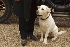 Isis, Lord Grantham's loyal blonde Labrador retriever dog, of Downton Abbey I Love Dogs, Cute Dogs, Animal Captions, Famous Dogs, Pet Care Tips, Labrador Retriever Dog, Black Labs, Cute Animals, Humorous Animals