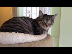 Cat Adoption: Sugarfoot Gorgeous, cuddly and lovable 5 year old tabby boy!  Available from Cat Connection, 818.776.0655 Sherman Oaks, California