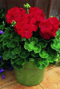 Geranium Multibloom Red Improved (image only)