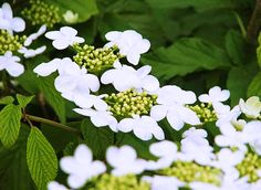 Japanese snowball bush Viburnum plicatum Pink Beauty a great
