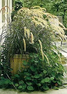 List of drought tolerant plants, perennials, annuals, shrubs and trees for containers  Fountain grass, with fuzzy flower spikes.