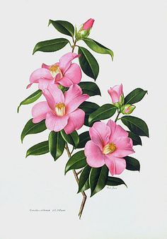 Paul Jones Camellia Prints