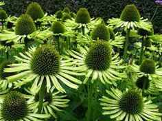 ECHINACEA Green Jewel has lovely pale green flowers and will make a wonderful plant for the back of the flower bed.