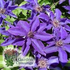 (Clematis) Looking for a Clematis that is a hard worker? Look no further than Clematis 'The President'. The free flowering habit of 'The President' graces your garden with blooms during the months of June through September. The large 8 inch, dark purple blooms are brought together with deep purple anthers. Standing 8-12 foot tall, 'The President' is perfect for growing up and over arbors and trellis'. This very popular variety is a Garden Crossings Top Seller yea...