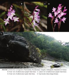 [Botany • 2016] Podochilus warnagalensis • A New Species of Podochilus Blume (Orchidaceae: Epidendroideae) from Adam's Peak, Sri Lanka