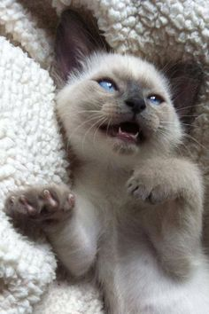 Siamese Kittens Siamese kitten More - Christmas is coming, These little adorable cats are all the more excited about Christmas and Christmas trees. Kitten Love, Kitten Gif, I Love Cats, Crazy Cats, Crazy Cat Lady, Siamese Kittens, Cute Kittens, Cats And Kittens, Tabby Cats