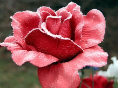 http://homeandgardens21.blogspot.in/2014/11/how-to-prepare-roses-for-winter.html