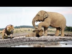 Unbelievable Young Elephant Survives Hunting By 14 Lions Elephant Art, Baby Elephant, Cute Cartoon Animals, Cute Animals, Racing Extinction, Lion Hunting, Wild Animals Videos, Kittens Cutest Baby, Cute Reptiles