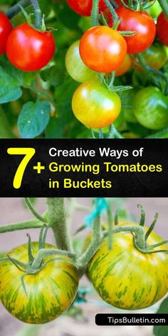 Find out how to use 5-gallon buckets for container gardening to grow cherry tomatoes. Enhance your garden soil or potting mix with calcium, potassium, phosphorus, and other important nutrients to promote a healthy root system. #growing #tomatoes #buckets #howto Tomato Planter, Tomato Seedlings, Tomato Seeds, Bucket Gardening, Container Gardening, Gardening Tips, Tomato Companion Plants, Companion Planting, Container Vegetables