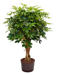 ficus lyrata vioolbladplant hydrocultuur our house. Black Bedroom Furniture Sets. Home Design Ideas