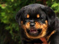 Trouvé sur la page FB de Passion Rottweiler