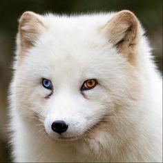 animais-olhos-diferentes-3                              …