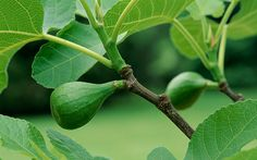 Figs are hardy only in USDA Plant Hardiness Zones 7 through 11, so people in colder areas must protect them.