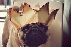 27 Reasons That Pugs Are The Sumptuous Queens Of Our Universe