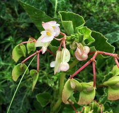 begonia:Suas flores podem ser consumidas cruas em saladas. Tem sabor refrescante, bem parecido ao do tomate verde.
