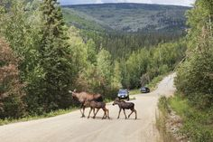 Cow moose and twin spring calves cross a gravel road near an oncoming vehicle in the city of Fairbanks, interior, Alaska. Wild Creatures, North Pole, Go Fund Me, Get Outside, Alaska, Moose, Calves, Cow, Vehicle