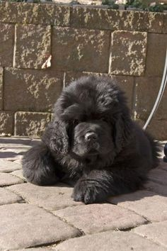 black newfie newfoundland dog puppy picture ...........click here to find out more http://googydog.com