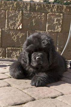 black newfie newfoundland dog puppy picture