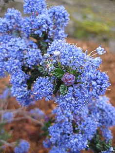Perfect for dry slopes & anywhere you want a tough, evergreen shrub or ground cover, this low but wide California native shrub is easy Design Seeds, Garden Shrubs, Garden Plants, Garden Art, Funny Bird, Evergreen Groundcover, California Native Plants, California Lilac, Drought Resistant Plants