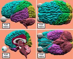 24 best neuro images on pinterest physiology activities for digital neuroanatomy fandeluxe Gallery