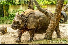 Abendtour im Zoo Berlin (Mai 2016) - Nashorn #Berlin #ZooBerlin #Nashorn #rhino #Deutschland #Germany #biancabuergerphotography #igersgermany #igersberlin #IG_Deutschland #IG_Berlin #ig_germany #shootcamp #shootcamp_ig #canon #canondeutschland #EOS5DMarkIII #5Diii #pickmotion #berlinbreeze #diewocheaufinstagram #berlingram #visit_berlin #Zoo #Tiergarten #Tier #animal #AOV5k