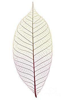 Skeleton Leaf by Elena Elisseeva - Skeleton Leaf Photograph - Skeleton Leaf Fine Art Prints and Posters for Sale