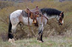 Draft Mare — Quarter horse X draft cross gelding