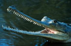 Reptiles such as the gharial are becoming more prominent on the IUCN's Red List each year.  Despite its fearsome appearance and lengths of up to 19 feet (6 meters), the Indian gharial is not a man-eater and prefers to eat fish.