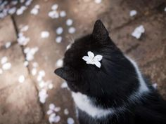 daniwell:    (via 黄金のコラボ! 桜と猫の美しすぎる画像集 - 〓 ねこメモ 〓)
