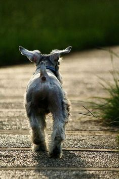 Things I like about the Cute Miniature Schnauzer #miniatureschnauzers #miniatureschnauzerslove #MiniatureSchnauzerPuppy Schnauzer Mix, Schnauzers, Miniature Schnauzer Puppies, Baby Dogs, Dogs And Puppies, Doggies, I Love Dogs, Cute Dogs, Most Popular Dog Breeds
