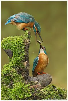 Two common kingfishers (Alcedo atthis) sharing some food. This beautiful bird with iridescent blue feathers is distributed across Eurasia and North Africia. Different Birds, Kinds Of Birds, All Birds, Love Birds, Pretty Birds, Beautiful Birds, Animals Beautiful, Common Kingfisher, Kingfisher Bird