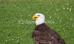 American Eagle Sitting In The Grass