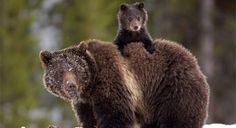 mother and baby brown bear | Grizzly Bear, © James Yule, Winner of the Defenders 2012 Photo ...