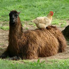 19 Llamas (And Alpacas!) You Can't Even Believe Are Real