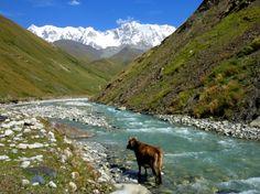 Cow taking bath in Upper Svaneti Valley, Georgia