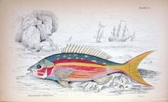mesoprion-chrysurus-ray-finned-class