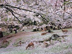 #japan #cherryblossoms #kansai #nara 奈良公園