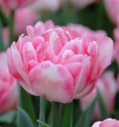 Foxtrot Tulips