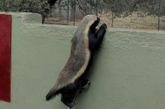 Houdini Honey Badgers Can Escape From Anywhere