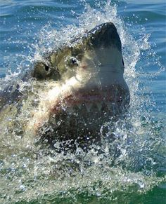 CLIMATE CHANGE: Rising sea temps drive sharks to beaches. http://www.news24.com/Green/News/Rising-sea-temps-drive-sharks-to-beaches-20121223# @SeaShepherd #defendconserveprotect