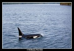 Orca in Port Houghton, Alaska